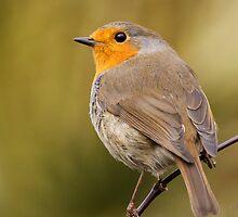 Robin by Stormbringer