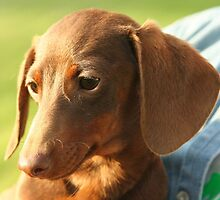 Fluffy Dachshund (Miniature Smooth) by welovethedogs