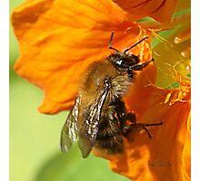 Nasturtium Bee (bis) Photographic Print