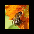 Nasturtium Bee (bis) by Gilberte