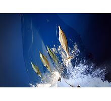 Greek Mother- Calf Dolphin Pairs  Photographic Print