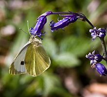 Large White Butterfly (Pieris brassicae) on Bluebell by Steve Chilton