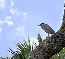 Yellow-Crowned Night Heron by Karl F Davis