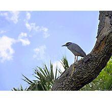 Yellow-Crowned Night Heron Photographic Print