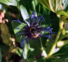 Bee on the Cornflower by Bill Lighterness
