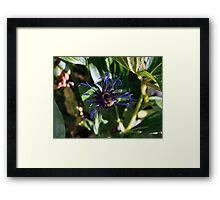 Bee on the Cornflower Framed Print