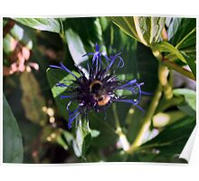 Bee on the Cornflower Poster
