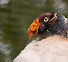 King vulture by tarnyacox