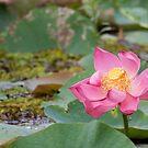 Lotus  by Janine  Hewlett