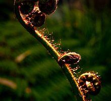 Backlit Fern Frond by Kana Photography