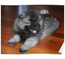 Tiny Keeshond