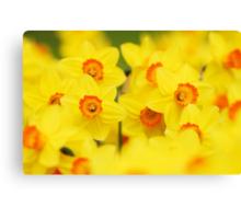 Happy yellow daffodils Canvas Print