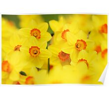 Happy yellow daffodils Poster