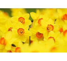 Happy yellow daffodils Photographic Print
