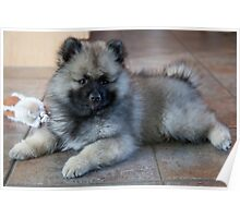 Loud Keeshond