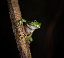 Green Tree Frog by Kana Photography