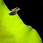 Frog on a Leaf by DanielBustPhoto