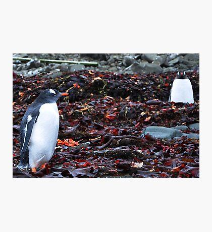 Penguin Friendship Photographic Print