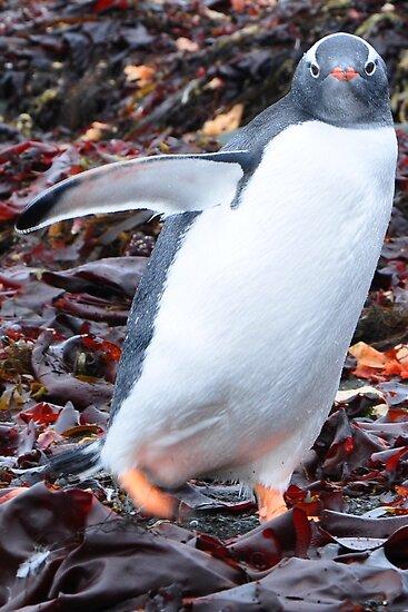 Gentoo Penguin by Jotman