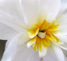 White Daffodil by Rebecca Kingston