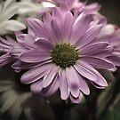 Daisy Daisy by Kathy Nairn