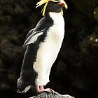 Rock Hopper Penguin by Jotman