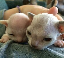 Tiny Sphynx and Rex Kittens by silverdragon