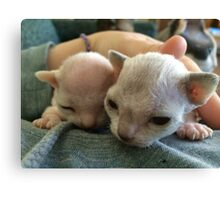 Tiny Sphynx and Rex Kittens Canvas Print