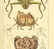 The Animal Kingdom by Georges Cuvier, PA Latreille, and Henry McMurtrie 1834  325 - Crustacea Crustaeans by wetdryvac