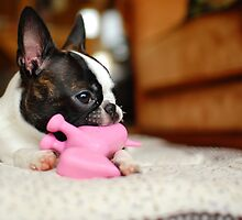 Tiny Boston Terrier