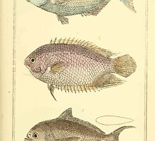 The Animal Kingdom by Georges Cuvier, PA Latreille, and Henry McMurtrie 1834  133 - Pisces Fish by wetdryvac