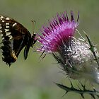 Thistle Dancing by Margaret  Shark