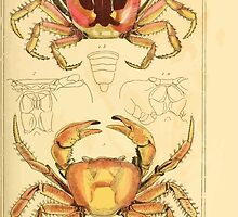 The Animal Kingdom by Georges Cuvier, PA Latreille, and Henry McMurtrie 1834  319 - Crustacea Crustaeans by wetdryvac