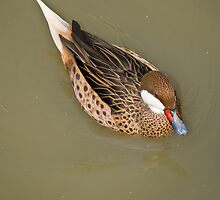 The Red-billed Teal by RatManDude