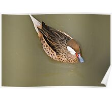 The Red-billed Teal Poster