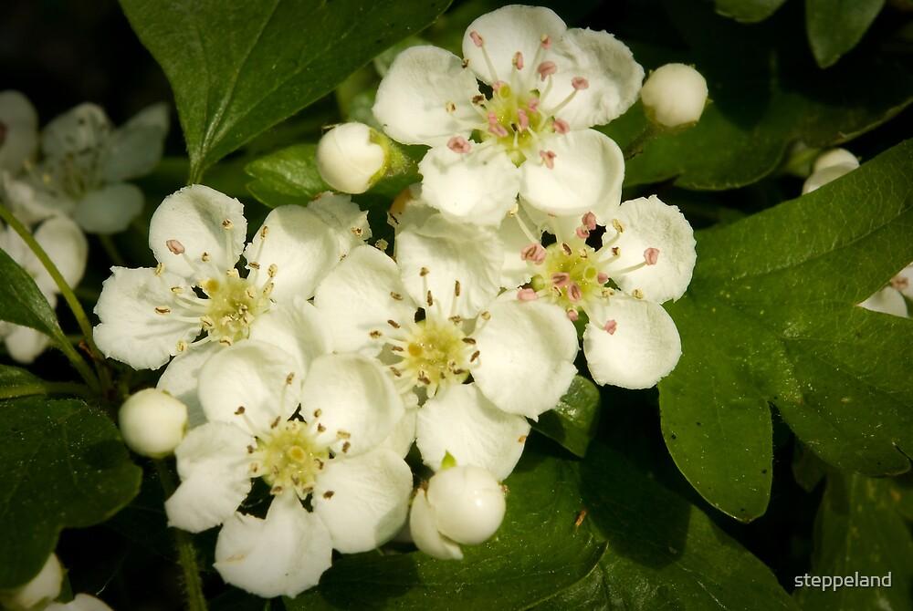 Friendly Hawthorn Blossom by steppeland