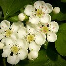 Friendly Hawthorn Blossom by steppeland