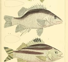 The Animal Kingdom by Georges Cuvier, PA Latreille, and Henry McMurtrie 1834  061 - Pisces Fish by wetdryvac