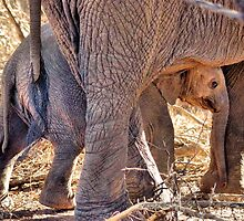 African Elephant, largest living land mammal by Magriet Meintjes