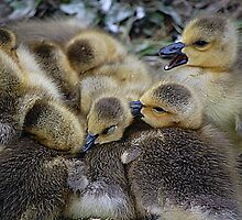 Goslings In A Huddle by Joanne  Bradley