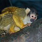Squirrel Monkey  by ys-eye
