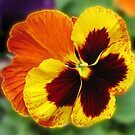 Amber and Gold Pansy Close-up by kathrynsgallery