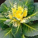 Cabbage Plant by Susan van Zyl