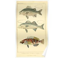 The Animal Kingdom by Georges Cuvier, PA Latreille, and Henry McMurtrie 1834  051 - Pisces Fish Poster