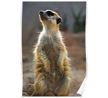 Meerkat Sentinel Poster