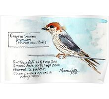 Greater Striped Swallow (Hirundo cucullata syn. Cecropis cucullata) Poster