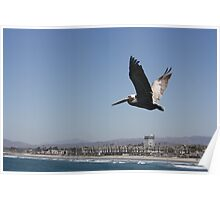 Pelican in flight  Poster