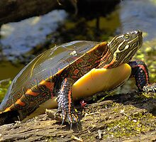 Painted turtle by gregsmith