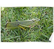 Locust - Close Up Poster