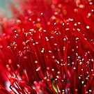 Pohutukawa Flower by Robyn Carter